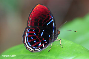 An unidentified butterfly in Indonesian Borneo. Photo by: Rhett A. Butler.