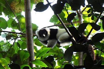 Un sujet d'étude, le lémurien 'PinkBlue', regarde ceux qui l'observent. Photo de  Kara Moses