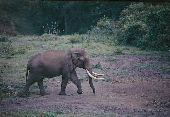 Asiatic Elephant. Nagarahole. Copyright: Sanjay Gubbi.