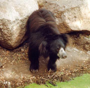 Sloth Bear. Photo taken at Tadoba-Andheri Tiger reserve. Copyright: Harshawardhan