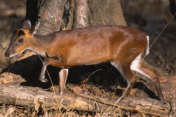 Muntjac or Barking Deer. Nagarahole National Park. Copyright: Eleanor Briggs..