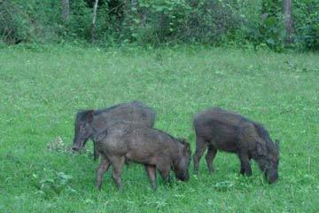 Wild Pig. Copyright: N. Samba Kumar.