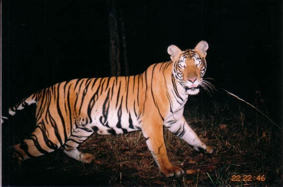 Tigress photo captured at Nagarahole National park by camera trap. Copyright: K Ullas Karanth/WCS.