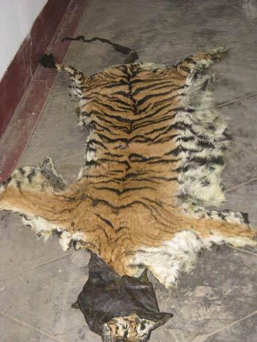 Tiger Skin Seized at Nagarahole. May 2009. Copyright: Sharath Babu.