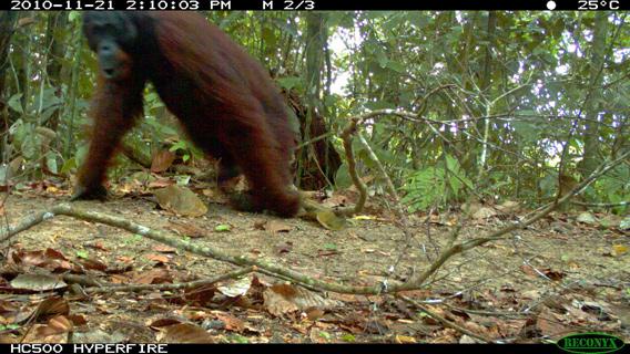 kin.orangutan.360.jpg