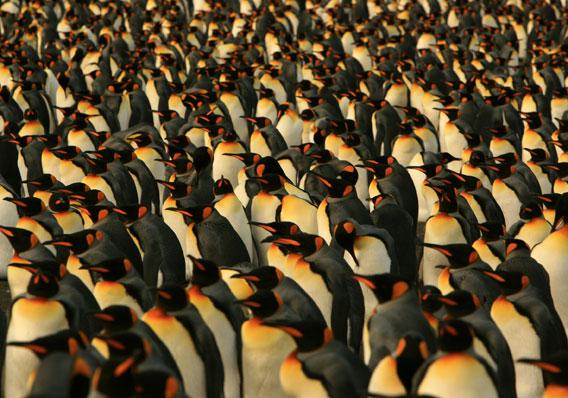 Pingüino rey. Foto por: V. Falabella.