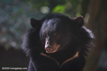 Asiatic black bear at rescue center in Laos. Photo by: Rhett A. Butler.