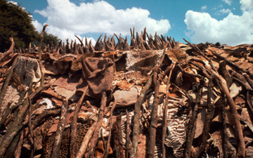 A stockpile of rhino horns and animals skins to be burnt by the government of Kenya. Photo:   © Philippe Oberle / WWF.