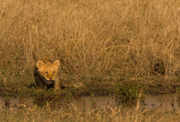 A lion cub tests the water. © National Geographic Entertainment. Photo by: Beverly Joubert.