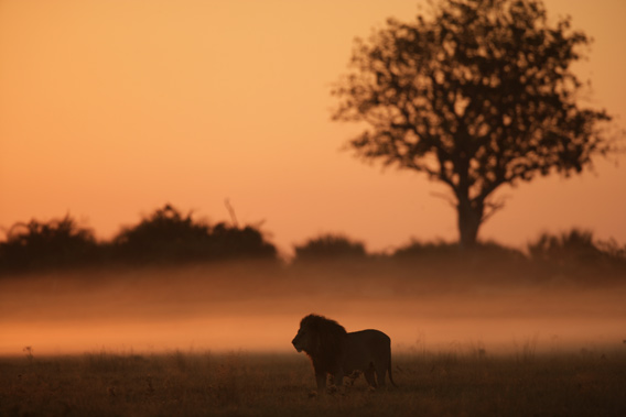 Male lion in the Okavango Delta. © National Geographic Entertainment. Photo by: Beverly Joubert.
