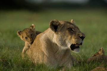 Mau di Tau with cubs. © National Geographic Entertainment. Photo by: Beverly Joubert.