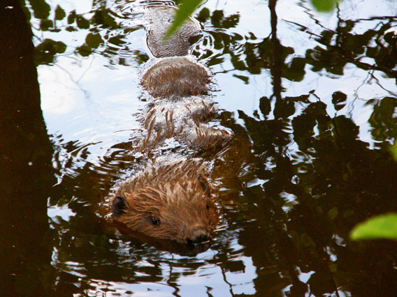 Over 55,000 pairs of beaver are found in Latvia. Photo by: V.Skuja.