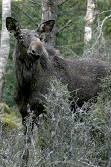 A European elk (or moose as its known in North America). Elk are still abundant in Latvian forests, including these very close to the Latvian capital of Riga. Photo by: R. Matrozis, 2011.