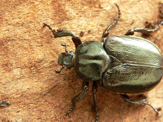 The hermit beetle (Osmoderma eremita) considered the most protected species of insects as it's covered by several international and national law acts. This species is closely connected with old, hollow trees where its larvae develop. Photo by: D. Telnov, 2006.
