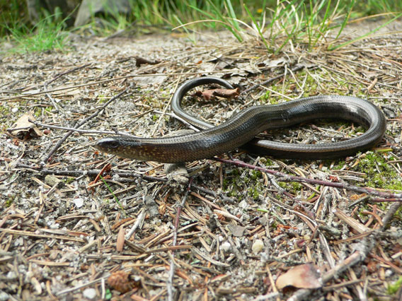 The slow worm (Anguis fragilis) is typical species for dry Scots pine forests but often killed by road traffic. Photo by: D. Telnov, 2008.