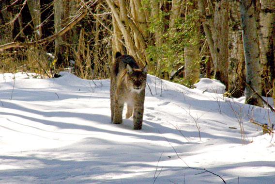 A lynx in Latvia. Photo by: V. Skuja.