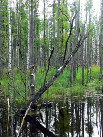 Moist forests or wetlands (this is a black alder mixed forest) are rich in dead wood and very important habitats for internationally protected animals like black stork, crane and beaver. Photo by: D. Telnov, 2007.