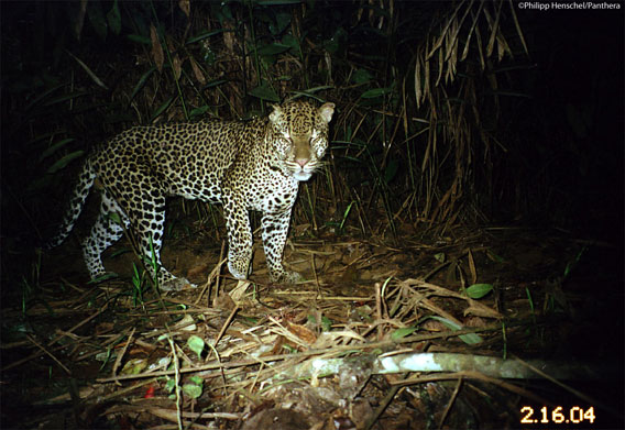 Leopard caught on camera trap in Gabon. Photo by: Philipp Henschel/Panthera.