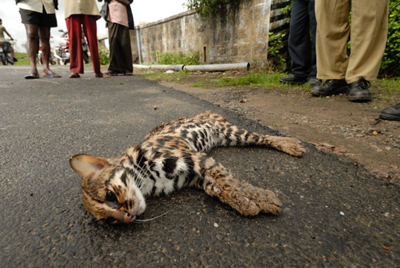 This leopard cat is a victim of growing traffic in the Western Ghats, one of a number of impacts that threatens wildlife in the area.