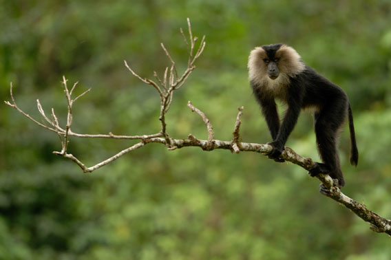 The majestic lion-tailed macaque is the symbol of the Western Ghats. Endemic to the region, it is listed as Endangered by the IUCN Red List.
