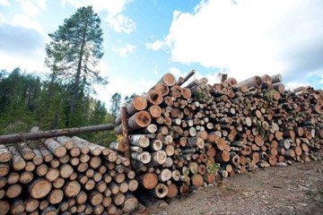 A pile of timbers from centuries-old trees on land leased by IKEA/Swedwood in Russian Karelia. Some trees were 500-600 years old. Photo © Robert Svensson, Protect the Forest 2011.