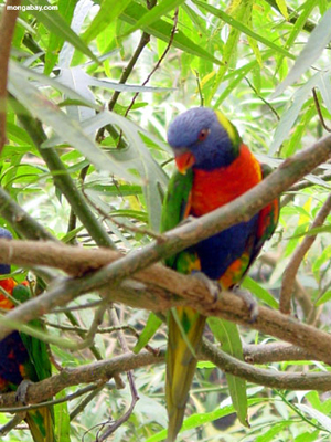 A Rainbow Lorikeet (Trichoglossus haematodus). The stunning colours make this species an attractive pet and are regularly exported from the Solomon Islands into the global pet trade. Photo by Rhett A. Butler.
