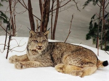 canadian lynx and snowshoe hare relationship global warming