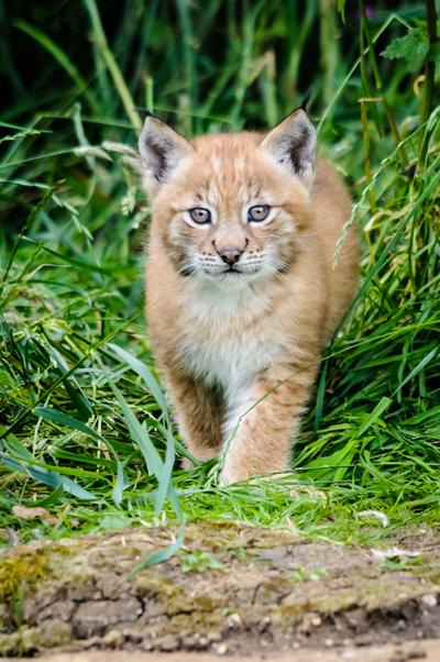 Eurasian lynx cub. Photo by: ZSL Whipsnade Zoo.