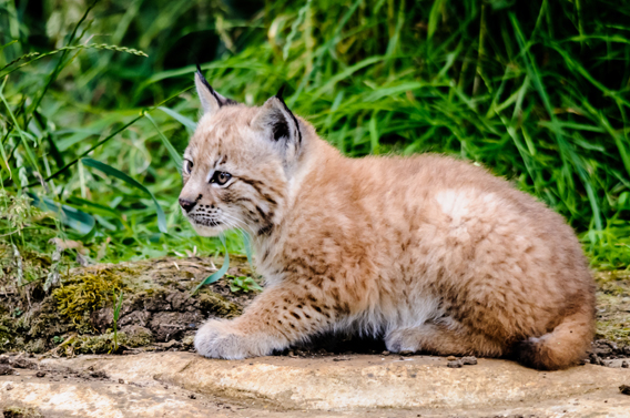 Eurasian lynx triplets were recently born at the Zoological Society of London's (ZSL) Whipsnade Zoo . Photo by: ZSL Whipsnade Zoo.