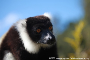 A black-and-white ruffed lemur (Varecia variegata) in Madagascar. Their population has dropped by 80% in 27 years. This species is listed as Critically Endangered by the IUCN Red List. Photo by: Rhett A. Butler.
