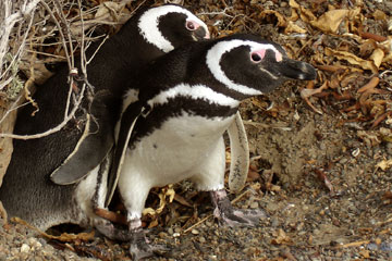 Pingüinos de Magallanes. Fotos de L. Campagna.