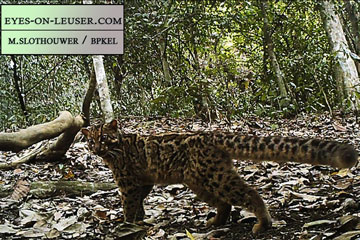 The elusive marbled cat. Photo by Eyes on Leuser/Marten SLothouwer.
