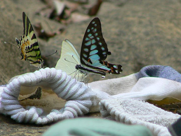 Butterflies inspect McCann's socks on the Gan-Yu River. Photo by: Greg McCann.