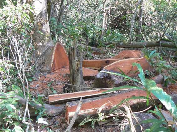 Illegal logging is a big problem in Virachey National Park, but that's not the largest issue. Instead mining rights and rubber plantations have driven conservation groups away. Photo by: Greg McCann.