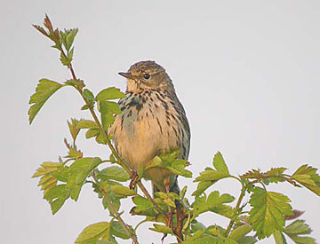 Small songbirds like the Meadow Pipit are especially targeted by the illegal trade in songbirds. Photo: © Richard Thomas/TRAFFIC.