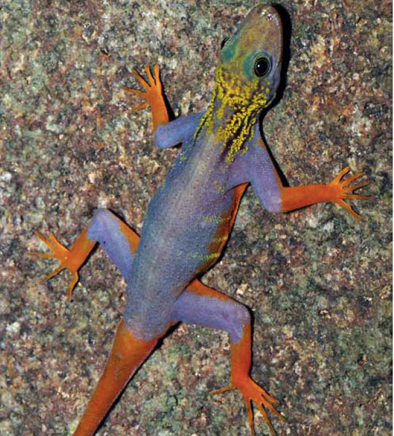 Found on an island in Vietnam's Rach Gia Bay, this new gecko is named after its wild, vibrant look: Cnemaspis psychedelica. The discovered should propel more investigations  of the nearly hundred islands in the bay. Photo by: L. Lee Grismer.