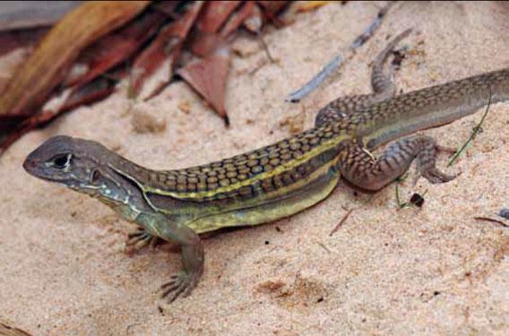 Seperti banyak spesies baru di kawasan ini, Leiolepis ngovantrii ditemukan di piring, di sebuah restoran di Vietnam. Untuk satu hal, spesies ini tidak ada yang jantan, semuanya betina yang reproduksinya dengan cara kloning. Banyak spesies di wilayah Mekong diburu untuk dimakan atau sebagai obat tradisional. Foto: L. Lee Grismer