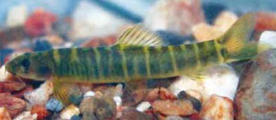 Este pez de agua dulce es una nueva especie de locha (Schistura udomritthiruji).Con más de 850 especies conocidas, la región del Mekong alberga una biodiversidad de peces de agua dulce de las más grandes del mundo. En 2010 se descubrieron 25 especies nuevas. Sin embargo, muchos de los peces de la región están en peligro debido a la sobrepesca, la contaminación, la pérdida de los manglares y la construcción de embalses gigantescos. Foto: Jorge Bohlen.