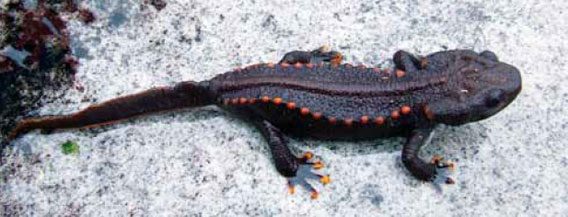 Tylototriton notialis is a new species of newt discovered in Laos, the first from this genus in country. Researchers fear that harvesting for medicine and the pet trade could imperil this species. Photo by: © Bryan Stuart.