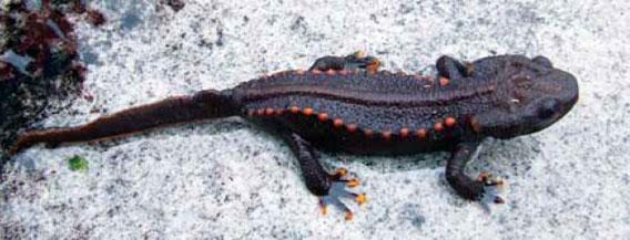 Tylototriton notialis adalah spesies kadal baru yang ditemukan di Laos, yang pertama dari genus di negara ini. Para peneliti takut bahwa perburuan untuk obat dan perdagangan sebagai hewan peliharaan bisa membahayakan spesies ini. Foto: Bryan Stuart