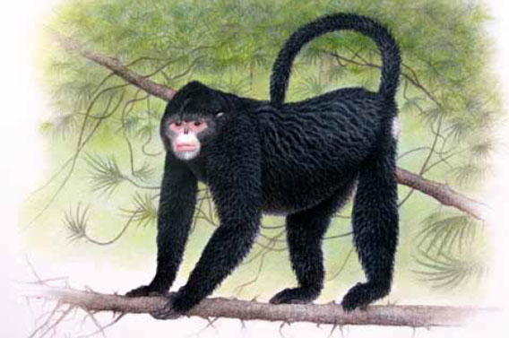 A new monkey, dubbed the Myanmar snub-nosed monkey (Rhinopithecus strykeri), was only discovered after researchers heard reports from hunters of a strange monkey with upturned nostrils and prominent lips in the remote Kachin region of Myanmar. It is known locally as mey nwoah, or 'monkey with an upturned face'. Reportedly its easy to locate since it sneeze in the rain. Illustration by: Martin Aveling/Fauna & Flora International.