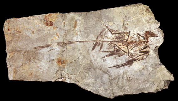 This is a fossilized Microraptor specimen from the Beijing Museum of Natural History. Photo by: AMNH/M. Ellison.