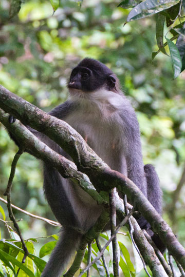 Miller's grizzled langur in Wehea Forest. Photo by: Eric Fell.
