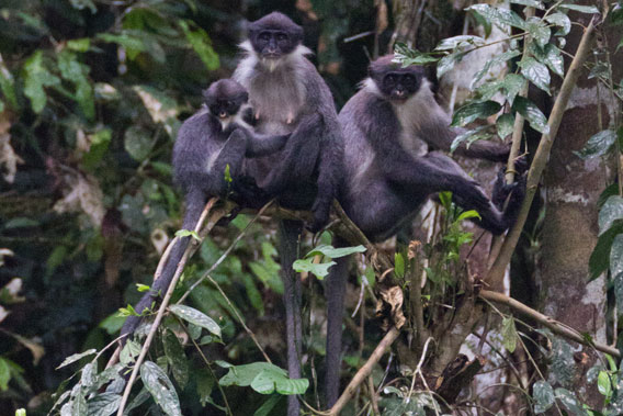 Family group of Miller's grizzled langur in Wehea Forest. Photo by: Eric Fell.