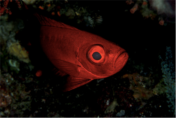 Large-eyed nocturnal fish, such as this moontail bullseye, are highly specialized for operating in the dark. Part of the reason they may have adapted to nighttime living was to avoid predators that are active during the day. Photo by: J. Huang.