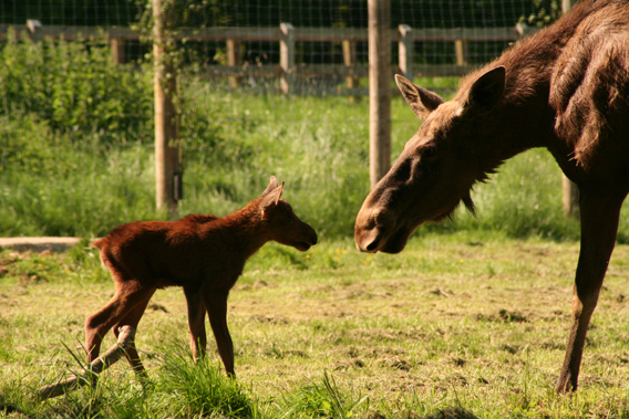 Calf with parent. Photo by: ZSL Whipsnade Zoo.