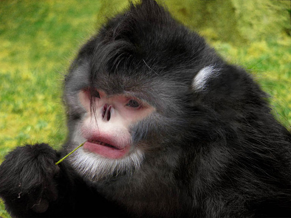 This mysterious primate (seen here in a reconstruction) not only made headlines last year, but continues to do so as a population of the believed to be Critically Endangered species was recently found in China. The new monkey, the Myanmar snub-nosed monkey (Rhinopithecus strykeri), was discovered byway of a carcass killed by a local hunter. Since then camera trap photos and video have been taken of the species. They are reportedly easy to hunt as locals say their up-turned noses cause them to sneeze in the rain. Researchers believe only a few hundred survive. Photo reconstruction credit: Thomas Geissmann/Fauna & Flora International.