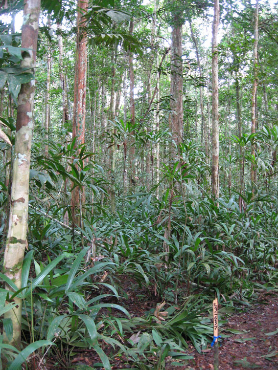 A typical Nauta forest—open canopy with lots of small stems, and lots of Iripaja (a ground palm) in the understory. Photo courtesy of Mark Higgins.