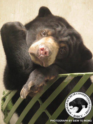 Sun bear at the Bornean Sun Bear Conservation Centre (BSBCC). Photo by: Siew Te Wong.