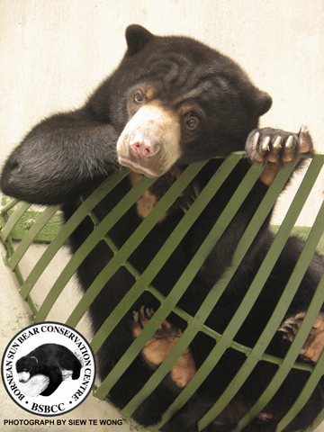 Juvenile sun bear. Photo by: Siew Te Wong.